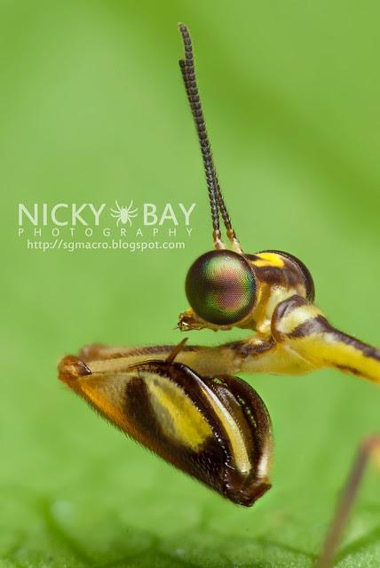 Mantisfly (Mantispidae) - DSC_0265
