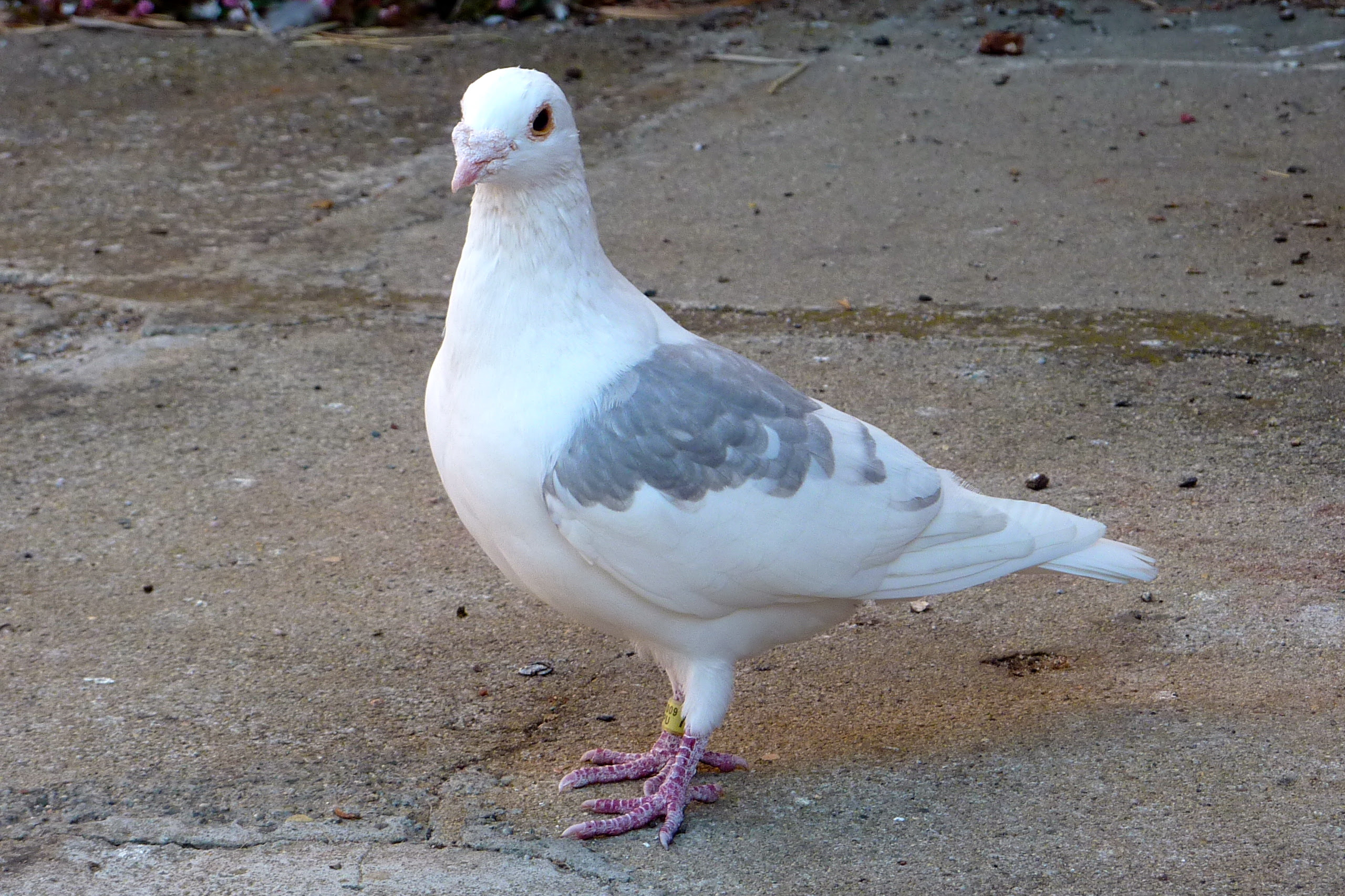 Racing Pigeon Hanging Around What Should I Do