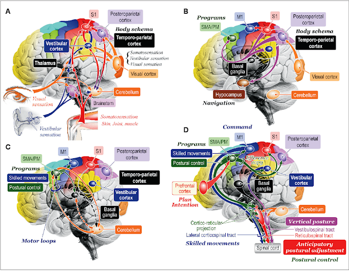 Neuroscience : Functional Neuroanatomy for Posture and Gait Control