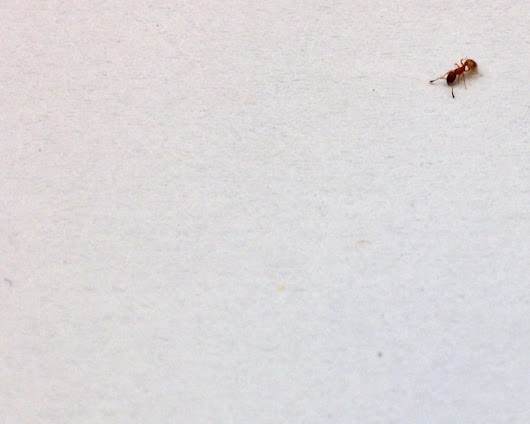 Ants respond to social information at rest, not on the fly