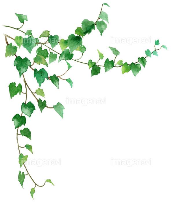 観葉植物アイビーの画像素材31112528 イラスト素材ならイメージナビ