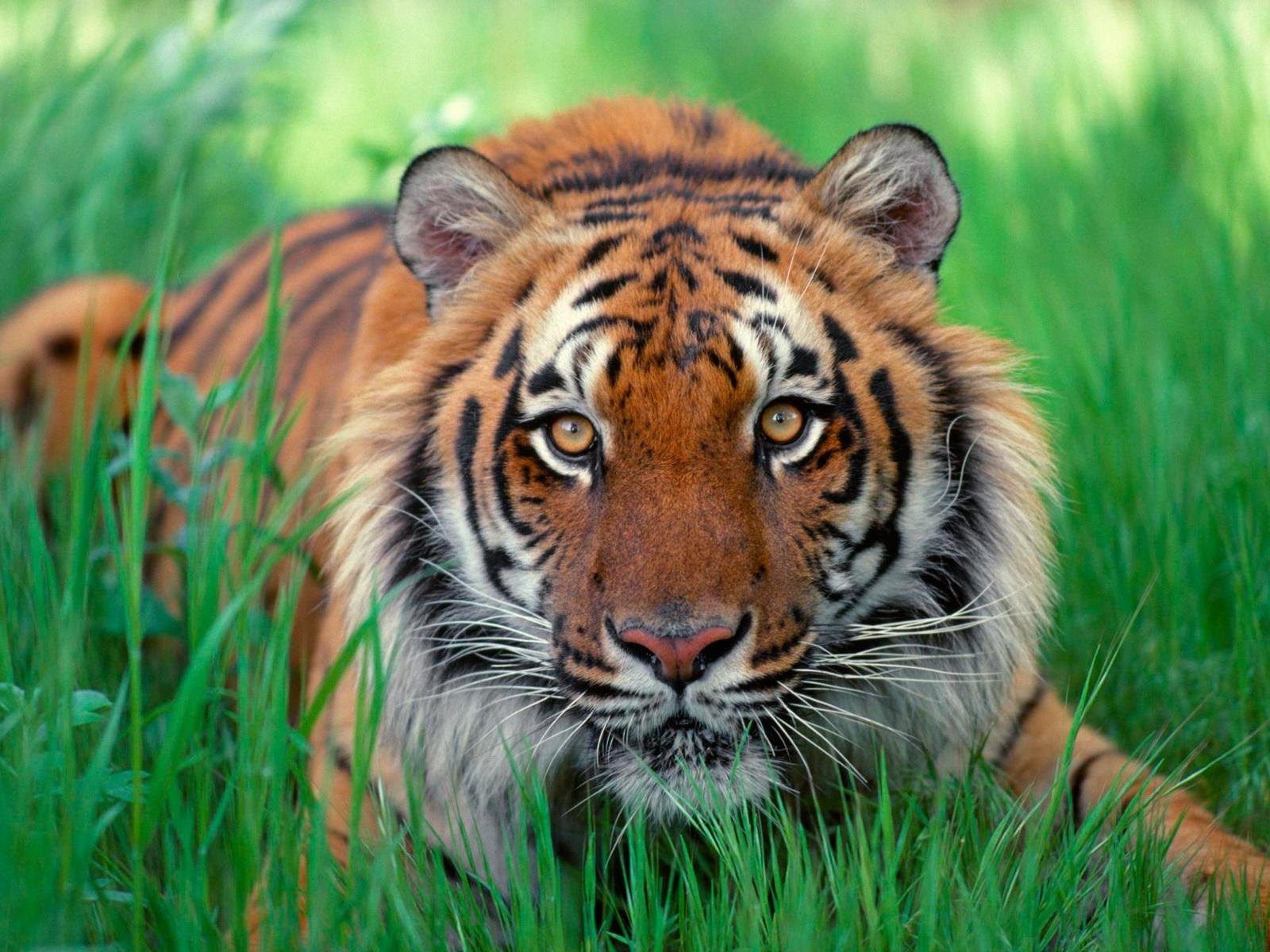 Colors Images Brownish Orange Tiger Hd Wallpaper And Background