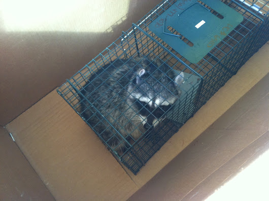 Carpenter fired for saving raccoon from trap at construction site