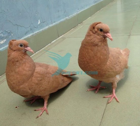 Yellow Bombay pigeon chicks pair for sale - BD Online Pigeon Market