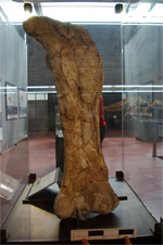 Fèmur d'Ampelosaurus ataci, un de los sauròpodes estudiats.