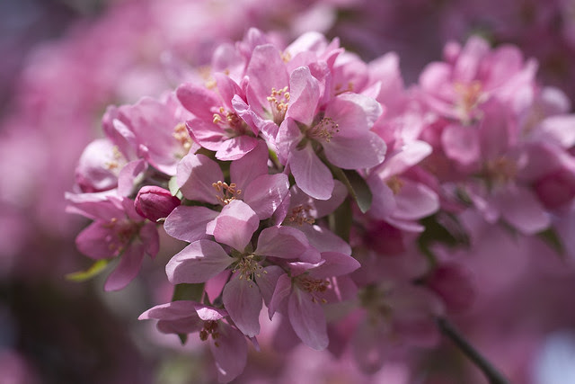 pretty in pink blossoms