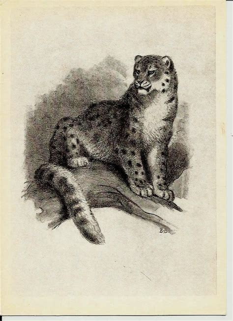 snow leopard illustrations  animals vintage russian