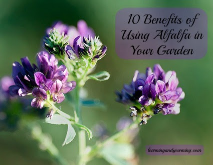 10 Benefits of Using Alfalfa in Your Garden -