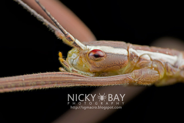 Stick Insect (Phasmatodea) - DSC_6875