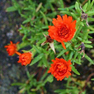 20060225-vs-8399 Chorão - Lampranthus aurantiacus