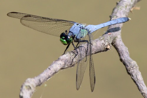 IMG_1053_Blue_Dragonfly_with_Green_Mouth