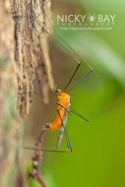 Crane Fly (Tipulidae) - DSC_1668
