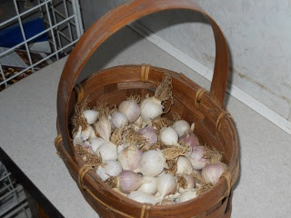 Basket of Small Garlic Bulbs