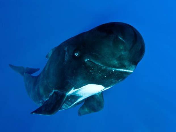 O biólogo marinho britânico Rory Moore fotografou em agosto de 2010 um grupo de baleias-piloto no estreito de Gibraltar, próximo ao mar Mediterrâneo, e uma delas parecia sorrir para a câmera. (Foto: Rory Moore/Barcroft Media/Getty Images)