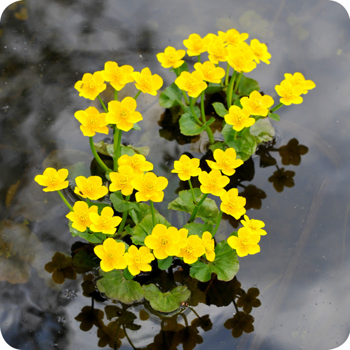 Caltha palustris2 700x700