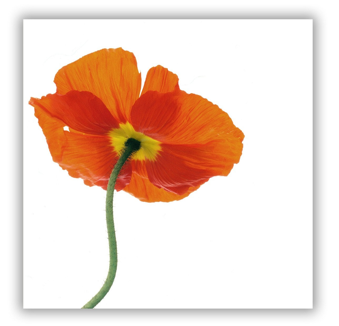 Orange Poppy - fine art print 8x8