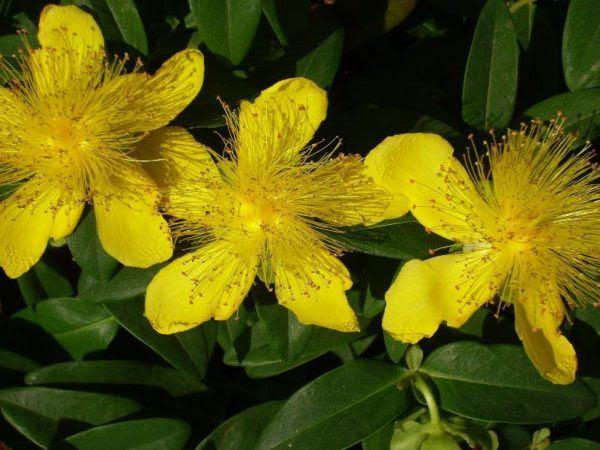230-plantas-medicinales-mas-efectivas-y-sus-usos-hiperico-planta