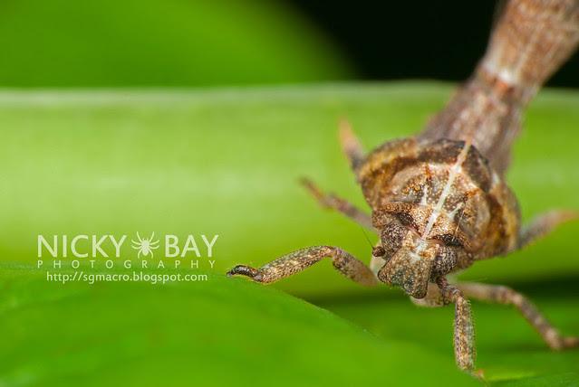 Planthopper nymph (Fulgoromorpha) - DSC_9914
