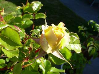 yellow eureka rose