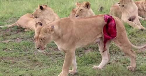 Image: A Lioness Killed A Baboon, But What She Did Next With The Baby Is ...