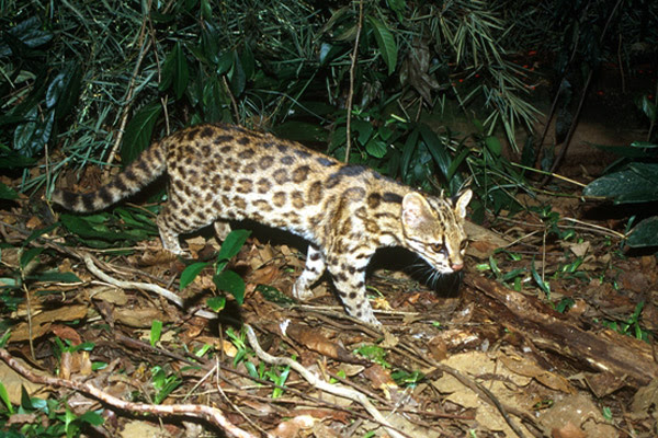 DNA tests have revealed a new small wild cat species: Leopardus guttulus. Pictured here, the new species is primarily found in the Atlantic Forest. Photo by: Projeto Gatos do Mato - Brasil/Project Wild Cats of Brazil.