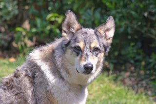 Photo of Tika resembling a wolf