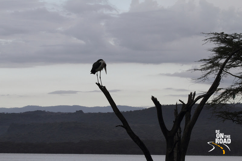 Marabou Stork on the branch of a tree next to Lake Nakuru