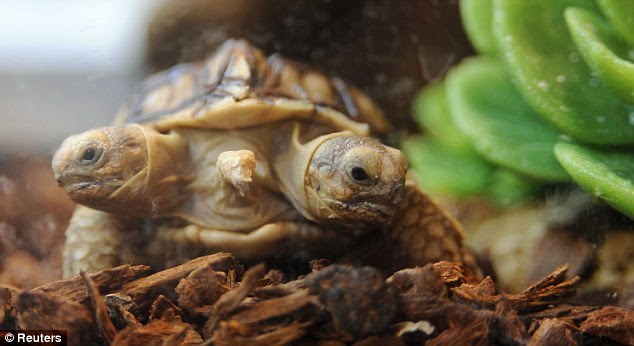 Unique: The rare tortoise also has five feet and was displayed at Zilina on Monday