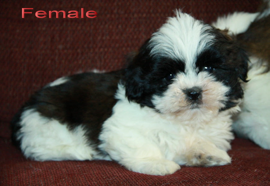 Black And White Shih Tzu Puppy Puppies For Sale Dogs For Sale