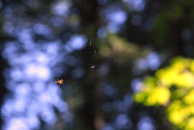 Spider, Elowah Falls