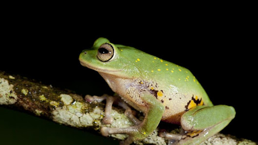 Nine beautiful new frogs found in India's Western Ghats
