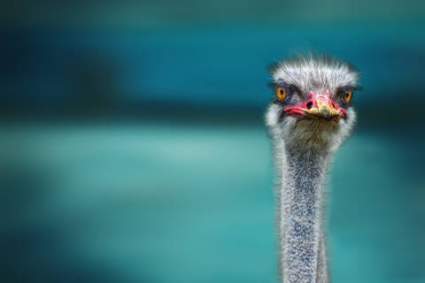 Piet Flour: Ostrich Protecting two Poor Chicken from the ...