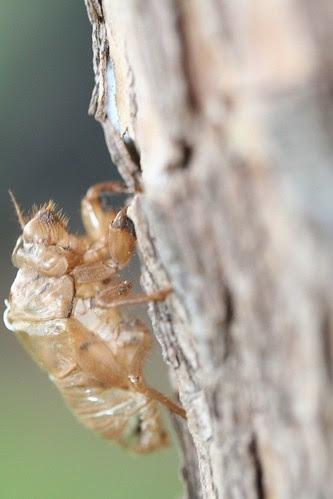 cicada empty nymphal skin 2