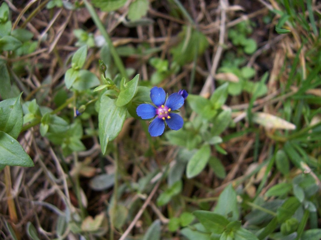 Mouron bleu - anagalis caerulea - Photo de fleur