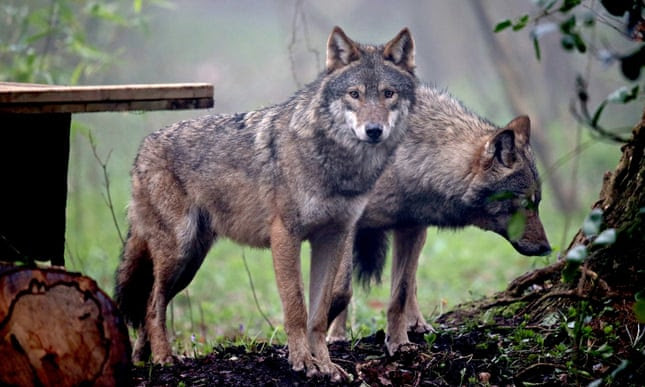 'Notions of wildness': grey wolves pictured at Bristol Zoo.
