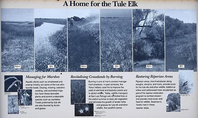 IMG_5781 Tule Elk, San Luis National Wildlife Refuge