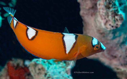 Sweet Yellowtail Coris of Youth | Snorkel Bob's