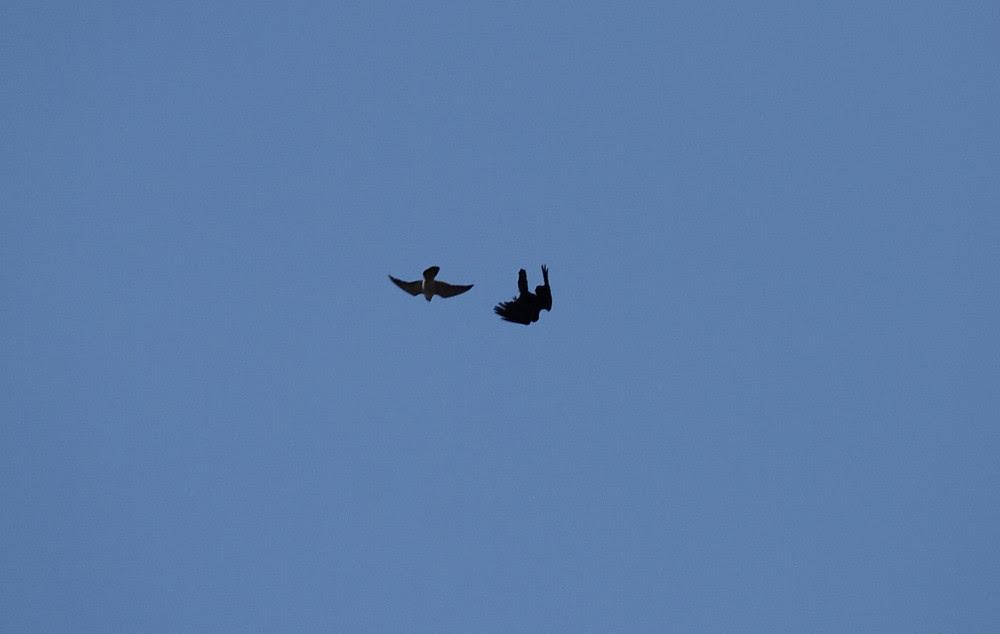 Peregrine vs Crow
