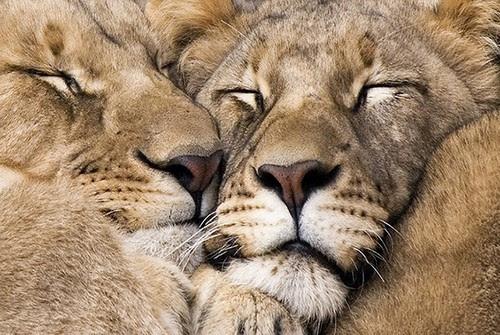 "Image result for lions hug each other"""