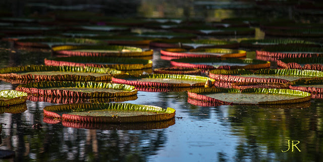 Victoria Regia Waterlilies at Royal Botanical Gardens, Pamplemousse, Mauritius (Explored)