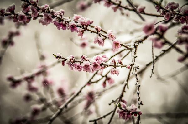 peach-blossom-in-spring