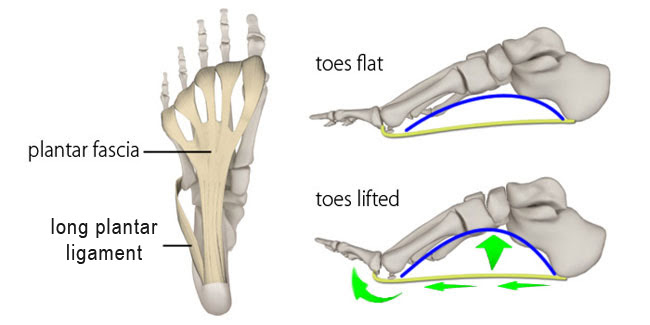 plantar fascia, foot arch