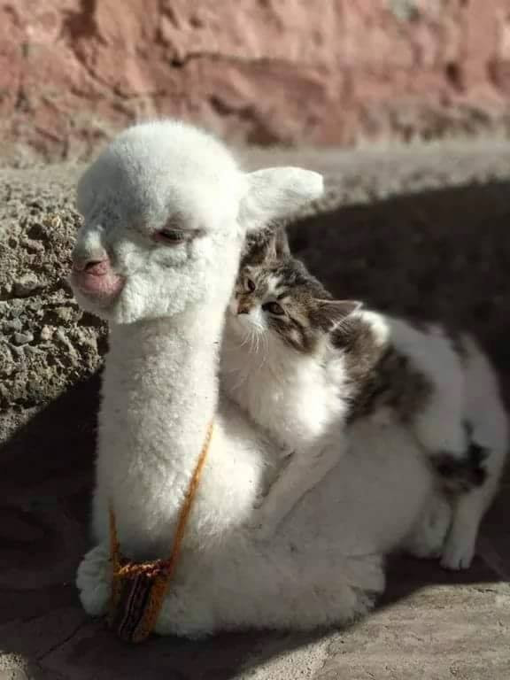Baby Alpaca With His Best Friend One Word For This Photo True