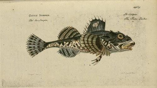 Cottus scorpius