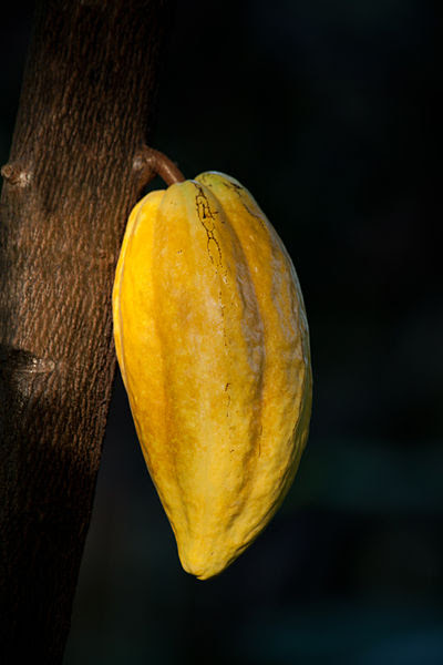 File:Theobroma cacao fruit, Botanical Garden, Hamburg IMG 1548 edit.jpg