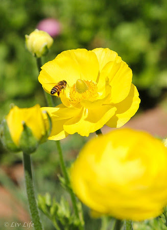 Yellow Ranunculus, Carlsbad Flower Fields