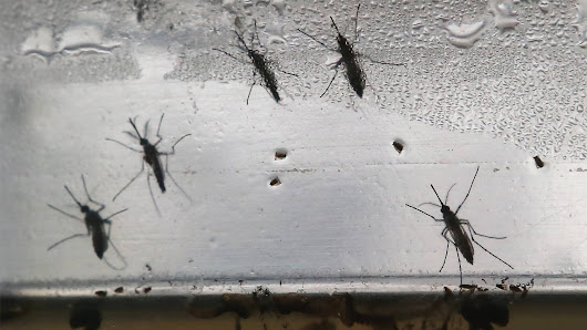 Scientists Are Releasing 20 Million Mosquitoes in Fresno County