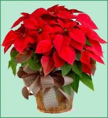piante, come curare la stella di natale,stella di natale,pianta,pianta stella di natale,come annaffiare la stella di natale,Euphorbia puicherrima,