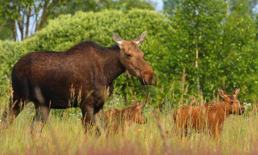 Wildlife thriving around Chernobyl nuclear plant despite radiation