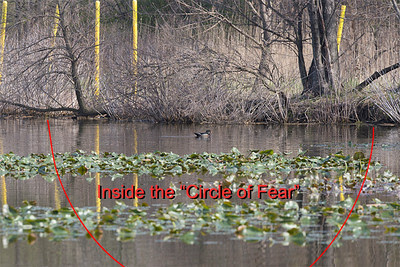 Circle of Fear of Male Wood Duck in breeding plumage in the John Heinz National Wildlife Refuge